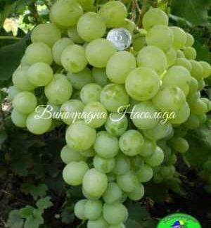 виноград сорта Антоний Великий, крупный, зеленый виноград