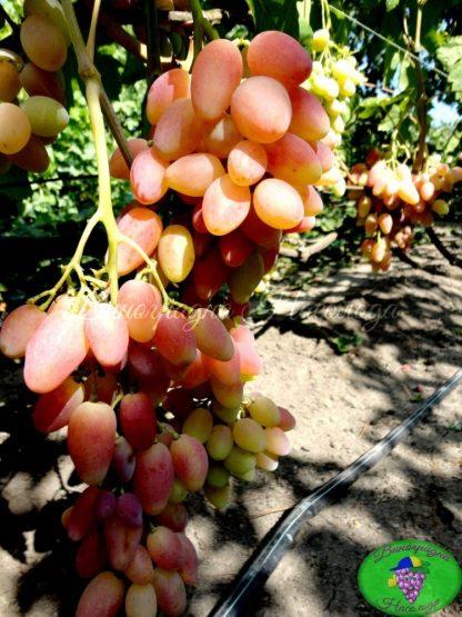 Ксения - столовая форма винограда