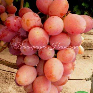 Памяти хирурга сорт винограда, розовый, красивый