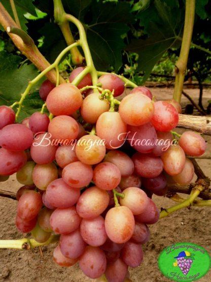 Анюта сорт винограда