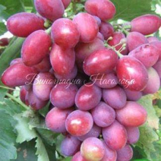 Аристократ - виноград