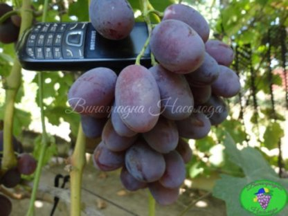 Атаман – виноград