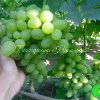Бажена сорт виноград