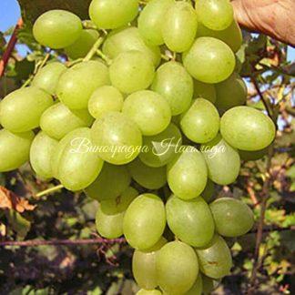 Сорт винограда Благовест, крупный белый виноград, саженец