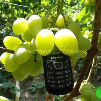 Богатяновский сорт винограда, крупный