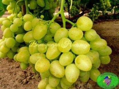 Аркадия - сорт винограда
