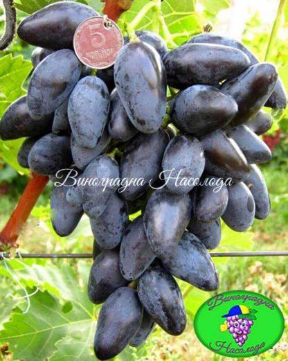 виноград В-2, темный виноград