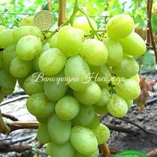 Валек - очень ранний сорт винограда