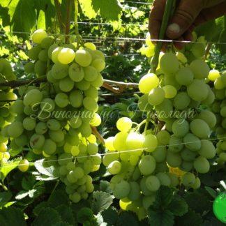 Ванюша - сорт винограда