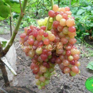 Сорт винограда Велес, киш-миш