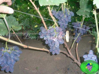 Велика - столовый сорт винограда