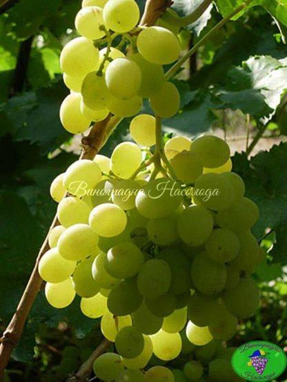 Восторг оригинальный -виноград
