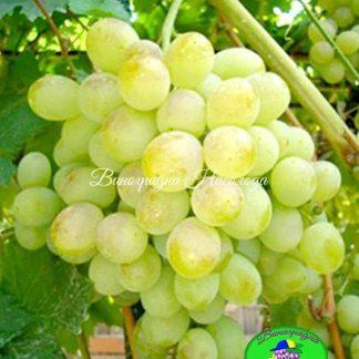 Восторг - столовый сорт винограда