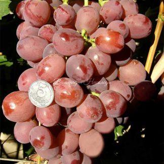 Дюжина - виноград