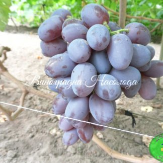 Фавор сорт винограда