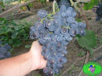 Сорт винограда Гала, темный ранний виноград