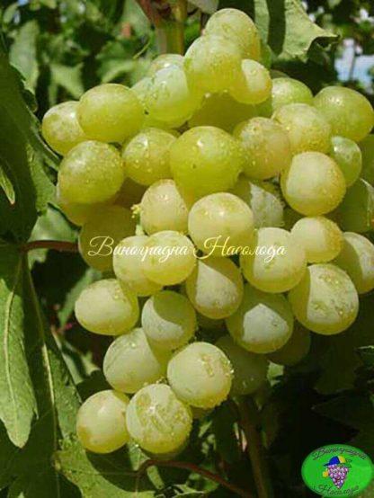 Галбена ноу - виноград