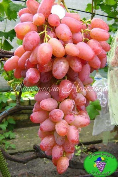 Гелиос – виноград