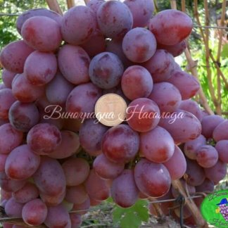 Граф Монте Кристо - виноград