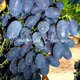Кодрянка вкусный синий ранний виноград