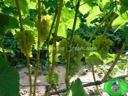 Куст винограда Киш миш 342