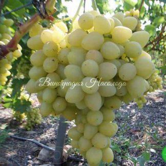 Находка - виноград