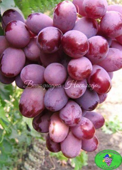 Краснотал - виноград