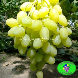 Ландыш - виноград ранне-среднего срока созревания