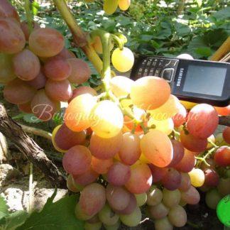 Ливия - виноград очень раннего срока созревания