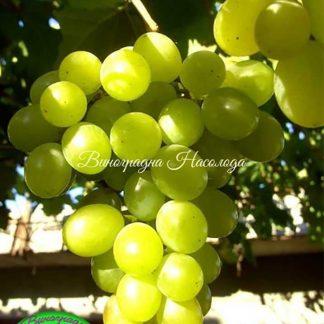Любимый - виноград