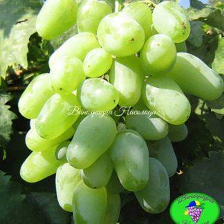 Миллениум - виноград