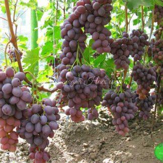 Нинель -виноград