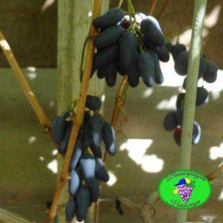 Одесский сувенир - виноград