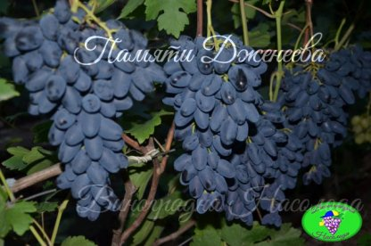 Памяти Дженеева (Академик) - виноград