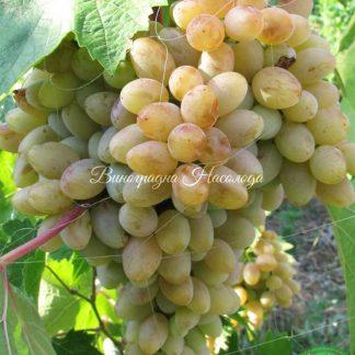 Памяти Смольникова - виноград