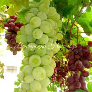 Прозрачный - виноград