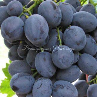 Очень классный сорт винограда Руслан