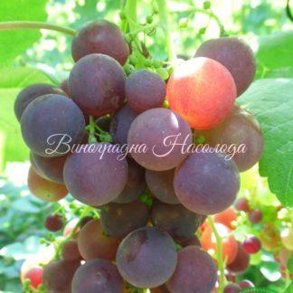 Рошфор - виноград
