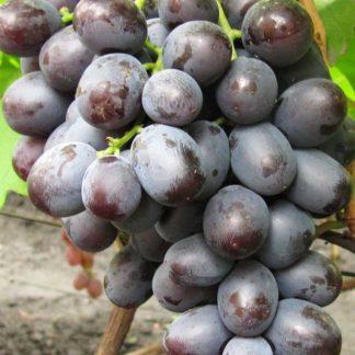 Сенатор - сорт винограда