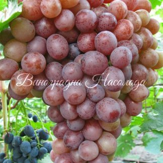 Сиреневый туман - виноград