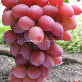 София - виноград