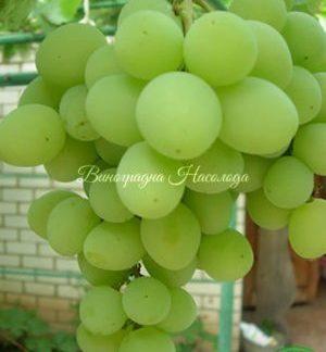 Светлана, ФВР 7-9 сорт винограда