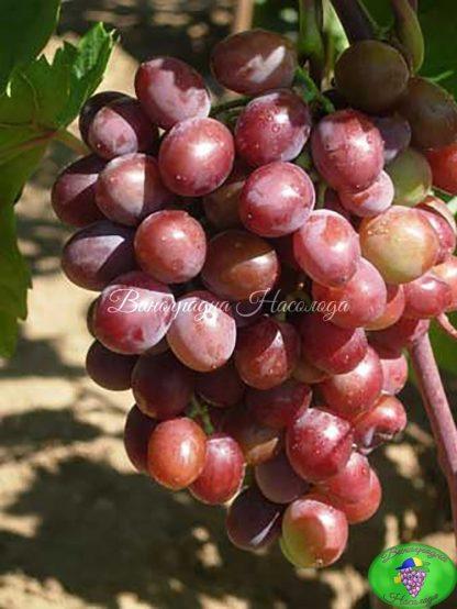 Вишенка сорт винограда