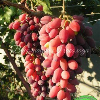 Зарево - виноград