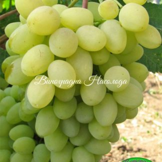 Зарница - виноград