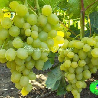 Супер-экстра - виноград