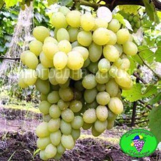Сорт винограда Ладанный 2