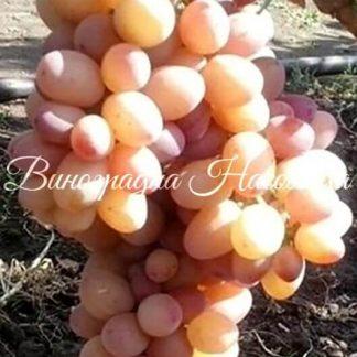 Сорт винограда Рута