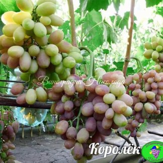 Сорт винограда Королек