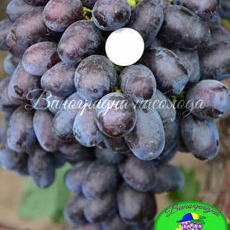 сорт винограда Лорано